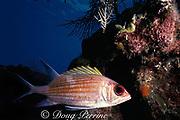 longjaw squirrilfish, <br /> Holocentrus adscensionis,<br /> Grand Cayman ( Caribbean )