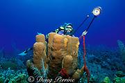 diver photographs brown <br /> tube sponges, Agelas conifera, <br /> Grand Cayman Island ( Caribbean Sea )   MR 202