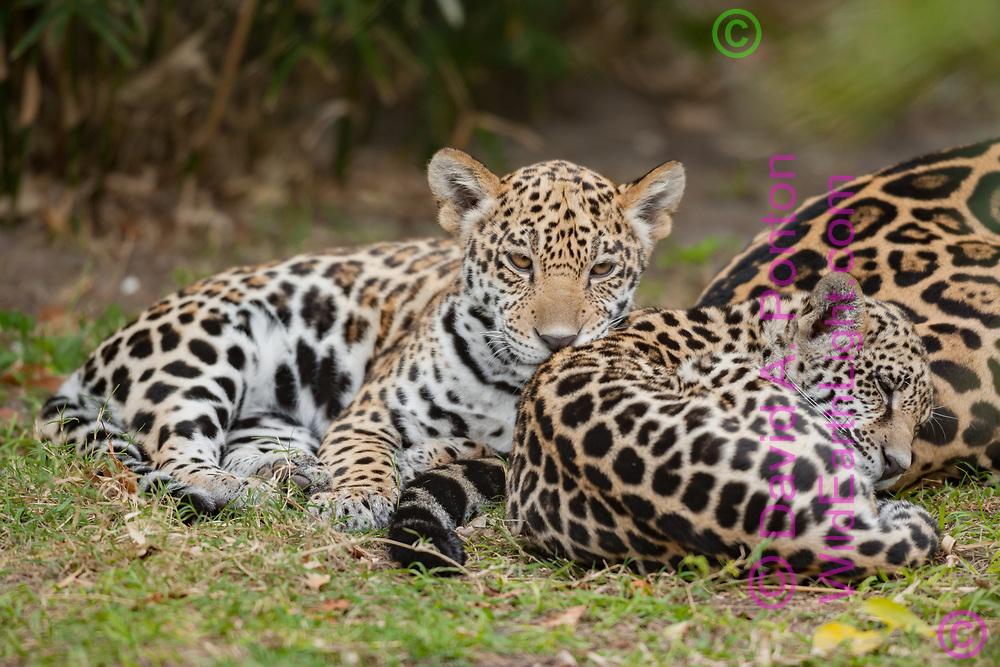 Jaguar cubs resting next to their mother. © David A. Ponton, America
