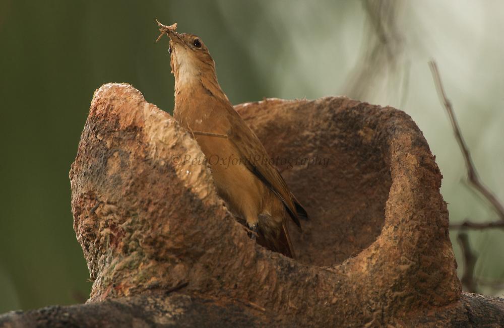 Rufous Hornero (Ovenbird) building nest<br /> furnarius rufus<br /> Cerrado, Piaui State, BRAZIL. South America<br /> Range; Central Brazil South