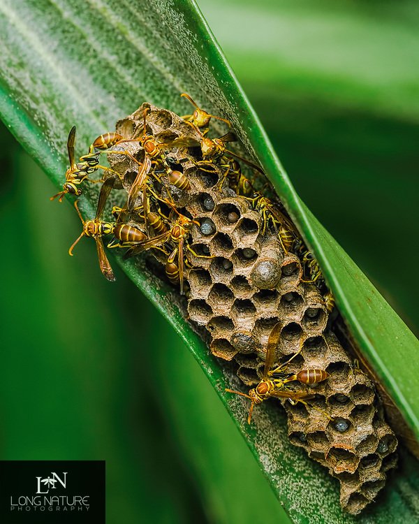 Mischocyttarus mexicanus - Paper wasp - Photographed on a staghorn fern in Lady Lake. Florida USA