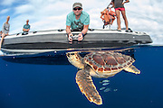 A Loggerhead Sea Turtle Juvenile, Caretta caretta, swims past a dive boat in the open ocean offshore Pico, Azores, North Atlantic Ocean.