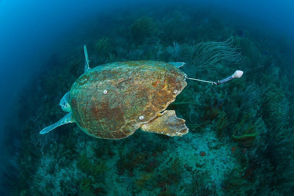 Female Loggerhead Sea Turtle (Caretta caretta) equpped with PAT (pop-up archival tags) devices to help biologists from NOAA and conservation organizations like the Loggerhead Marinelife Center in Juno Beach, FL determine mortality rates and clutch frequency.