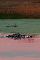 A hippo peering above the water in a pond at sunset, Kwando Concession, Linyanti Marshes, Botswana.