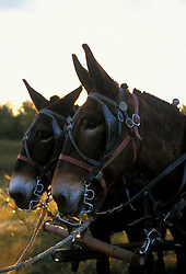 Mules to pull the covered wagons