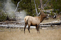 Elk Passing Gas. Yellowstone National Park. Image taken with a Nikon D2Xs and 200-400 f/4 VR lens (ISO 100, 200 mm, f/4, 1/125 sec).