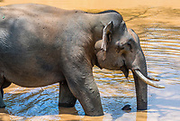 Tusked elephant drinking from a pond, Yala National Park, Southern Province, Sri Lanka.