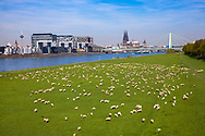 Germany, Cologne, sheep on the river Rhine meadows in the district Deutz, the Crane Houses in the Rheinau harbor, in the background the cathedral.<br /> <br /> Deutschland, Koeln, Schafe auf den Rheinwiesen in Deutz, die Kranhaeuser im Rheinauhafen, im Hintergrund der Dom.