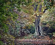 Nederland, Ubbergen, 3-11-2017Wandelen over de Elysese velden en bij de oude kabouterboom in Beek. Beroemd is de kabouterboom, een kastanjeboom die de dikste boom van ons land is, en twee branden en granaatinslagen tijdens de 2e wereldoorlog heeft doorstaan.  De sprookjesachtige Kabouterboom wordt algemeen aangezien als de dikste boom van Nederland. Het is een tamme kastanje . Locatie is opgenomen in de wandelroute walk of wisdom die door de regio, omgeving, rijk van nijmegen voert. .FOTO: FLIP FRANSSEN