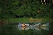 Black Caimen Fighting<br />Melanosuchus niger<br />Cocha Suarz, Manu National Park, PERU  South America<br />RANGE: Amazon and Orinoco Basins