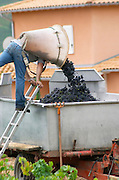 Carrying grapes in a basket. Domaine Tracot Dubost, Beaujolais, France