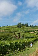 Vineyards along the Route des Vins (Wine Route) in Alsace, France.