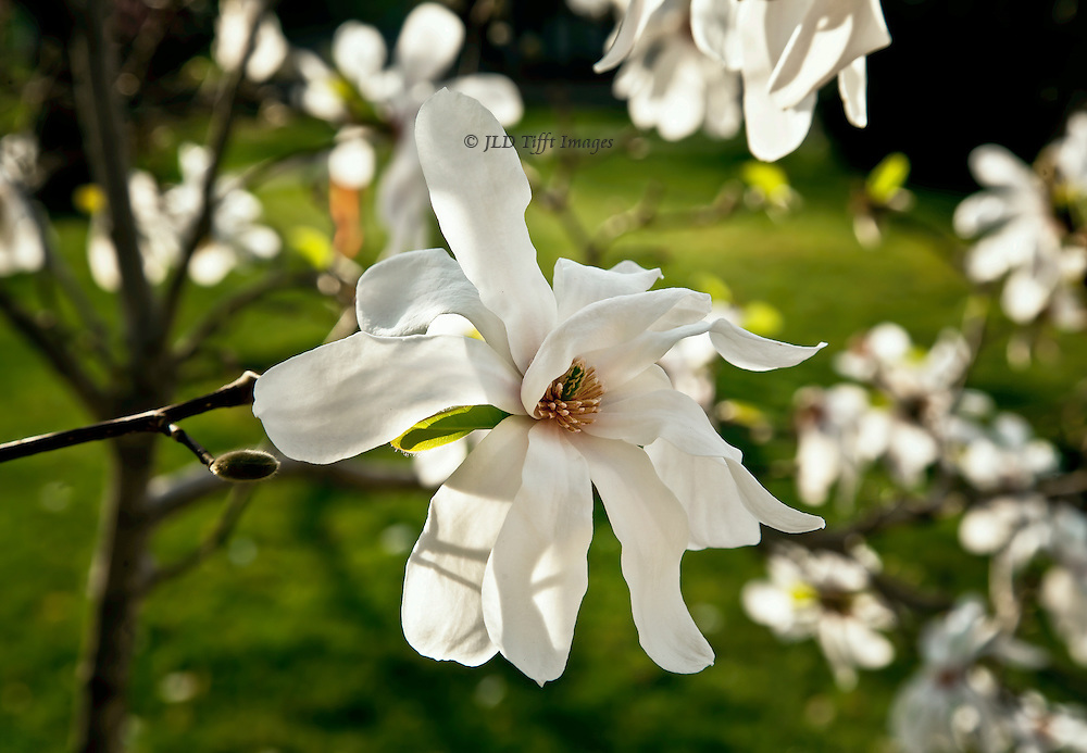 Fully opened star magnolia bloom still on the tree, surrounded by smaller blooms beyond.