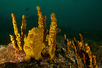 """Roughjaw Frogfish (Antennarius avalonis) poised among sponge branches on a rocky reef.<br /><br />Canales de Afuera Islands <br />Coiba National Park, Panama<br />Tropical Eastern Pacific Ocean<br /><br />""""Wahoo"""" dive site"""