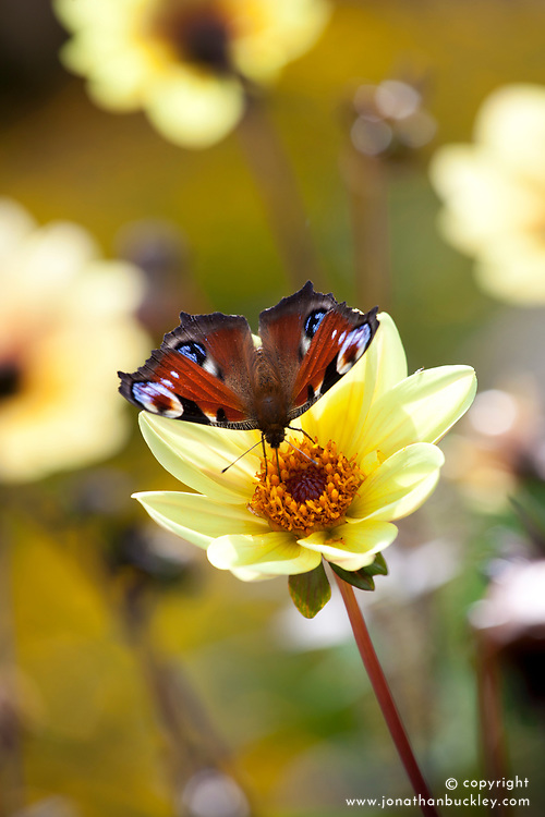 Peacock butterfly on Dahlia 'Summertime'