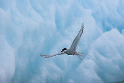 Arctic Tern (Sterna paradisaea) in front of glacier, Svalbard