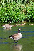 Canada Goose  (Branta canadensis) on the Los Angeles River, Glendale Narrows, Elysian Valley, Los Angeles, California, USA