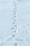 01874-104.02 Polar Bear (Ursus maritimus) tracks in snow, Churchill MB