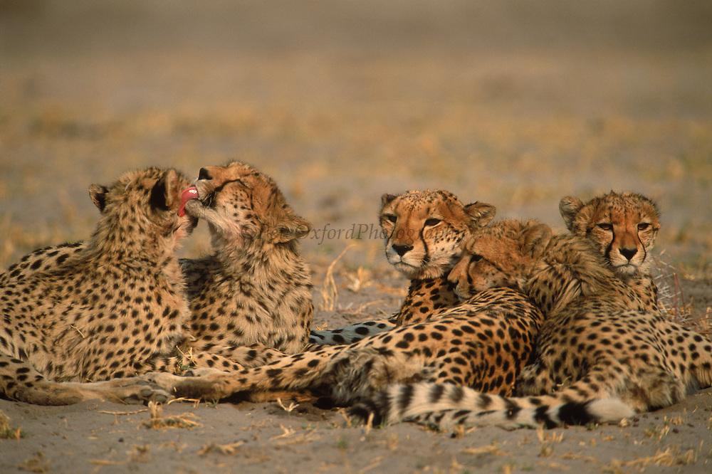 Cheetah Family<br /> Acinonyx  jubatus<br /> Okavango Delta,  BOTSWANA  <br /> RANGE: SUB SAHARA AFRICA