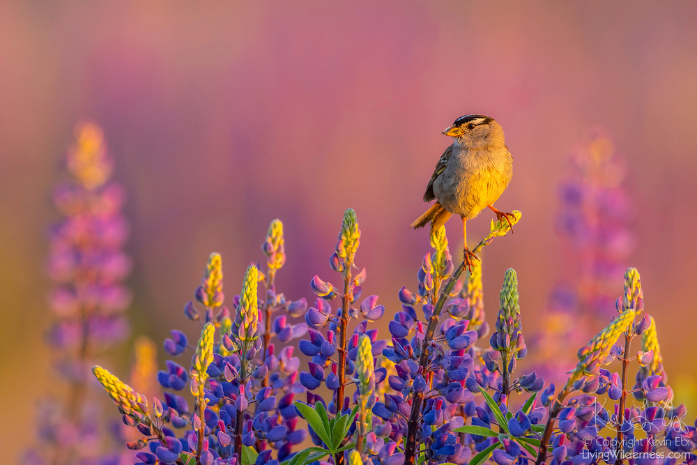 A white-crowned sparrow (Zonotrichia leucophrys) is perched at the top of a flowering big-leaved lupine (Lupinus polyphyllus) at sunrise in Van Lierop Park, Puyallup, Washington.