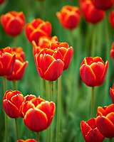 Orange tulips. Tulip festival at Keukenhof Gardens in Lisse, Netherlands. Image taken with a Nikon D4 camera and 80-400 mm VR lens.