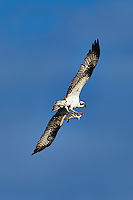 Osprey with Fish for Breakfast at Fort DeSoto Park in St. Petersburg, Florida. Image taken with a Nikon D700 and 300 mm f/2.8 VR lens with TC-E 20 II teleconverter (ISO 200, 600 mm, f/8, 1/1600 sec).