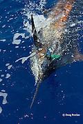 Pacific blue marlin, Makaira nigricans or Makaira mazara, caught on lure during the Hawaii International Billfish Tournament, Kailua Kona, Hawaii ( Central Pacific Ocean )
