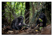 Crested black macaques feeding in the dark forest of Tangkoko Nature Reserve, northern Sulawesi, Indonesia. Nikon D850, 70-200mm @ 125mm, f4, 1/160sec, ISO2000, SB900 fill-in flash, Aperture priority