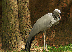 The Blue Crane, also known as the Stanley Crane and the Paradise Crane, is the national bird of South Africa