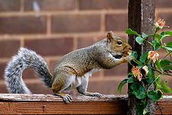 A Grey Squirrel (Scientific name Sciurus Carolinensison) Eats from a climbing rose using  a garden fence as a walk way in a British Suburban Garden<br /> <br />  Copyright Paul David Drabble<br /> 17 July 2019<br />  www.pauldaviddrabble.co.uk