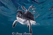 green sea turtle hatchling ( Chelonia mydas ), Endangered Species, Caribbean (c,dc)