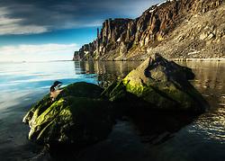 Thick-billed Murre (Uria lomvia) close to Alkefjellet bird cliff, Svalbard, Norway