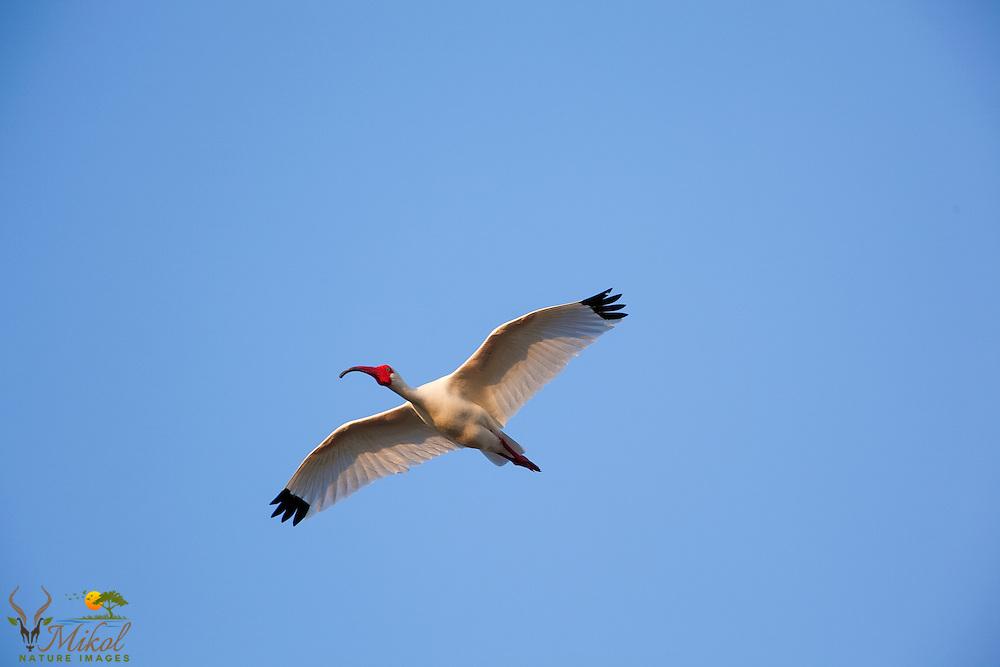 White Ibis in breeding plumage in flight