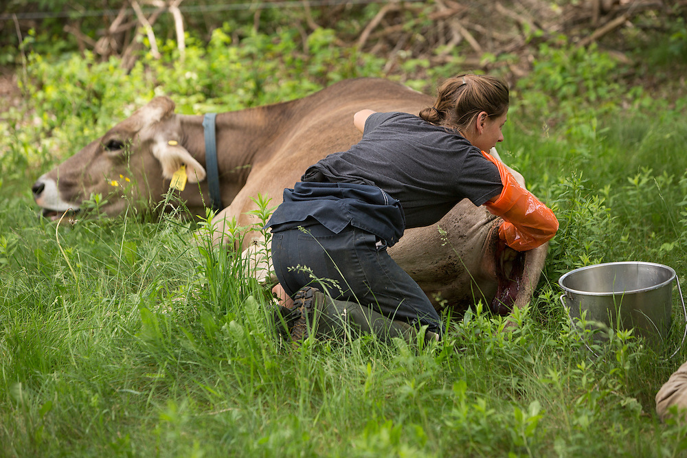Brown Swiss Cow in labor