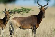 Swayne's Hartebeest, Alceluphus buselaphus swaynei, Senkele Wildlife Sanctuary, Ethiopia, Endemic, Endangered, pair, two, 2