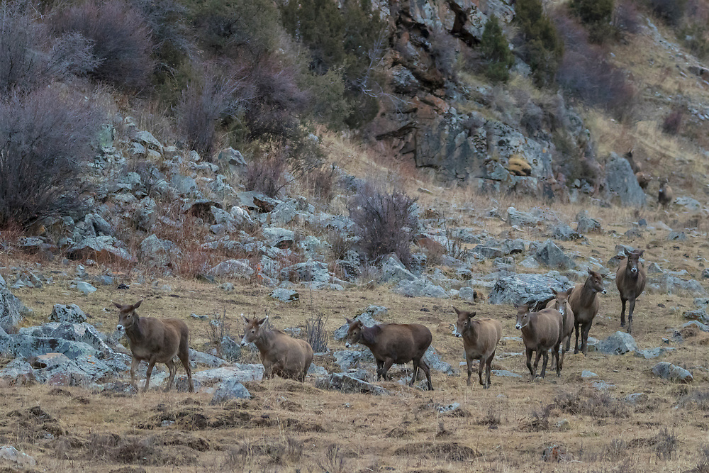 A herd of White-lipped deer also called Thorold's deer, Cervus albirostris, 白唇鹿, walking at the tibetan plateau in Serxu, Garze Prefecture, Sichuan Province, China