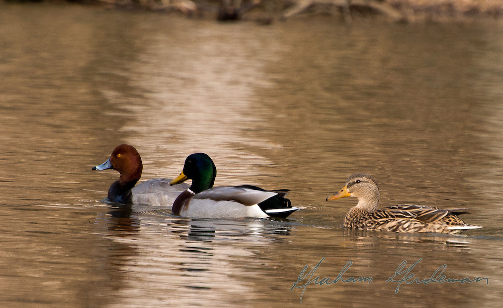 A male Redhead swims with male and female Mallards in Percy Warner Park, Nashville, TN.