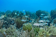 Giant slit pore sea rod - Gorgone arborescente (Plexaurella nutans), Playa del carmen, Yucatan peninsula, Mexico.