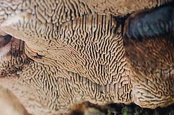 Doolhofzwam, Daedalea quercina