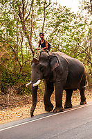 Man riding elephant down road near Chiang Mai, Northern Thailand