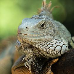 Iguane, Iguana iguana