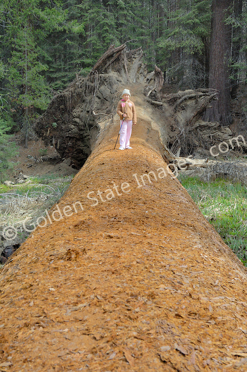 Young girl stands on a fallen Giant Sequoia.  <br />   <br /> Species: Sequoiadendron giganteum