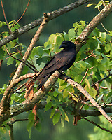 American Crow. Image taken with a Nikon D5 camera and 200-500 mm f/5.6 VR lens.