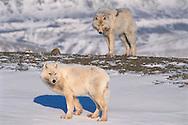 Arctic Wolf, Canis lupus, Ellesmere Island, Nunavut, Canada, Arctic