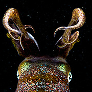 Caribbean reef squid (Sepioteuthis sepioidea) at night in The Bahamas