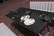 City pigeons help themselves to abandoned lunch plate food on an outside table top in London's Barbican.