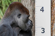 Gorillas height is checked - The annual weigh-in records animals' vital statistics at ZSL London Zoo. London, 24 August 2017