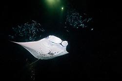 reef manta ray or coastal manta, Manta alfredi, and Hawaiian Flagtail or Aholehole in Hawaiian, Kuhlia sandvicensis, feeding on plankton at night, endemic species to Hawaii, and highly prized as food in Hawaii, off Kona Coast, Big Island, Hawaii, Pacific Ocean