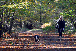 © Licensed to London News Pictures. 04/11/2013. Burnham, UK A woman talks on the telephone whilst walking dogs. Autumn sunshine through the trees at Burnham Beeches, South Buckinghamshire on MONDAY 4TH NOVEMBER. The beeches covering 220 hectares is primarily noted for its ancient beech and oak pollards. Photo credit : Stephen Simpson/LNP