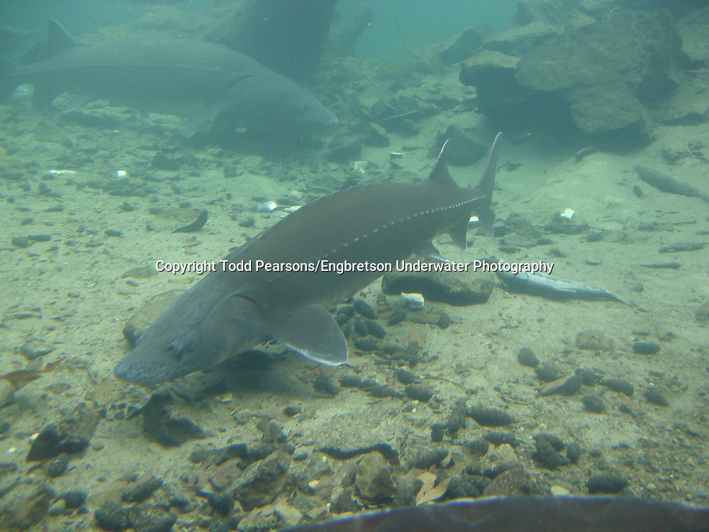 White Sturgeon<br /> <br /> Todd Pearsons/Engbretson Underwater Photography